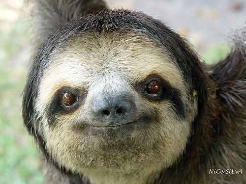 smiley sloth