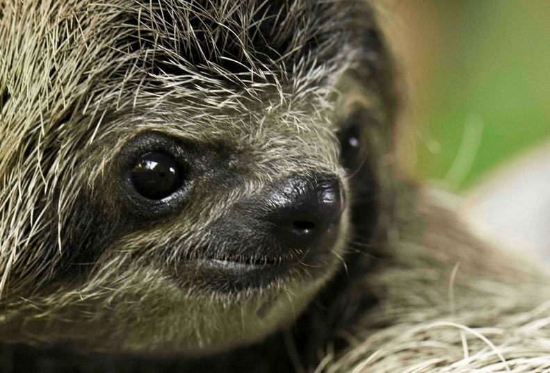 Squee Sloth! - Sloths.com.au