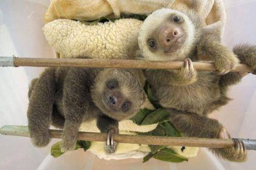 two and three toed sloths