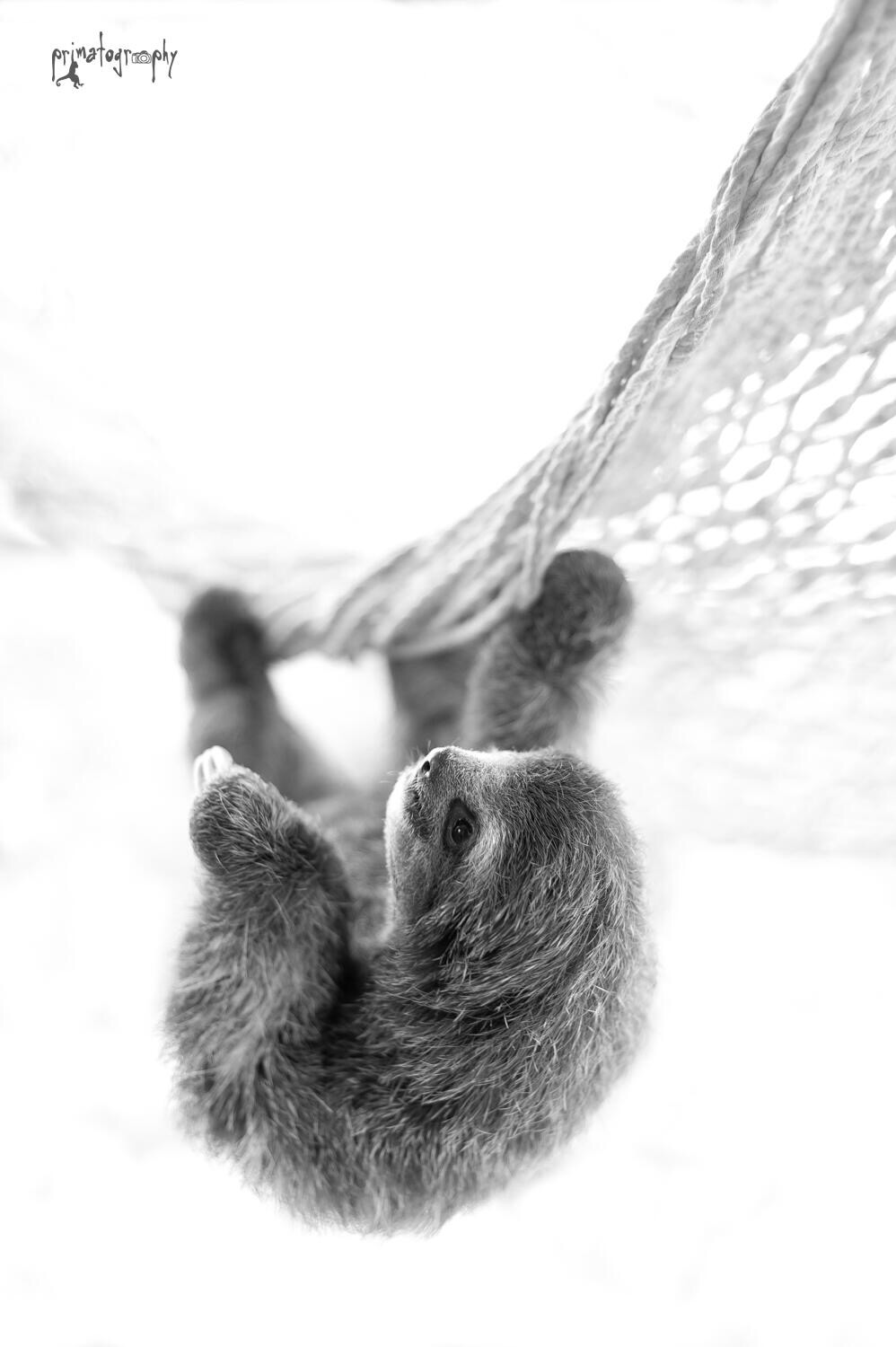 primatography black and white sloth